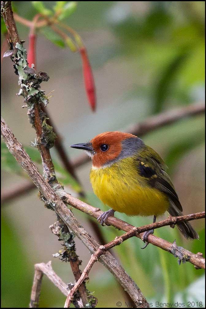 Espatulilla de Johnson / Johnson's Tody-flycatcher (Poecilotriccus luluae)