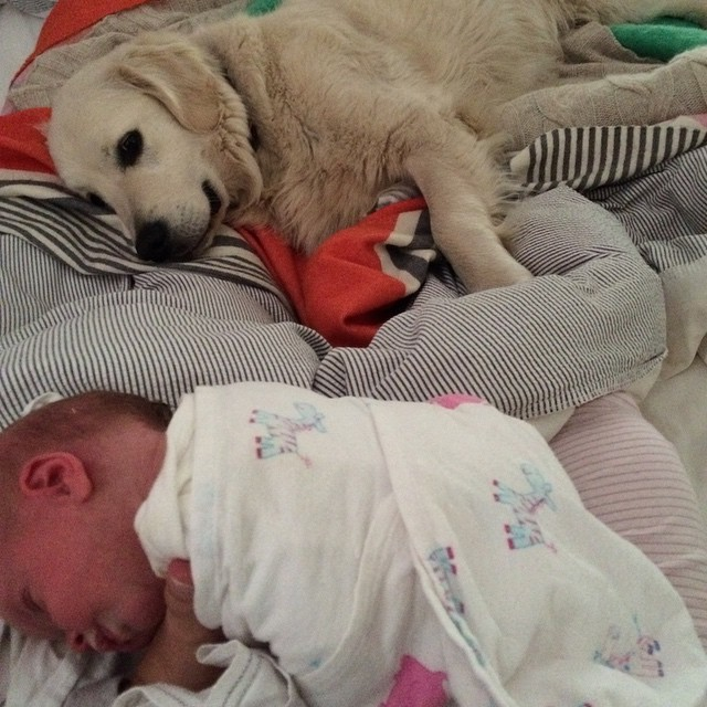 | ROY'S BABY 🐶👶🏼| • I know • Dog on the bed!! • very naughty • but I just can't stop him! • Little Jemima has a shadow • and Roy thinks he is a Mumma!! • he can't stand being apart from her, especially after a feed when she cries from wind in her tummy • What a lucky little girl to have such a special best friend 💛🐶 • #goldenretriever #newborn #bestbuds #dogsofinstagram #ohhownydayshavechanged #jemimakatherine 💕 •