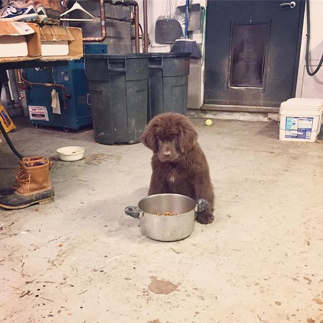 We have resulted to using our biggest pots to feed our growing army of Newfs.... doesn't help when one of the kids brings home their newf puppy!! @tagandthumper #feedingtimeatthezoo #moveroverover #determination #iwillfinishthis