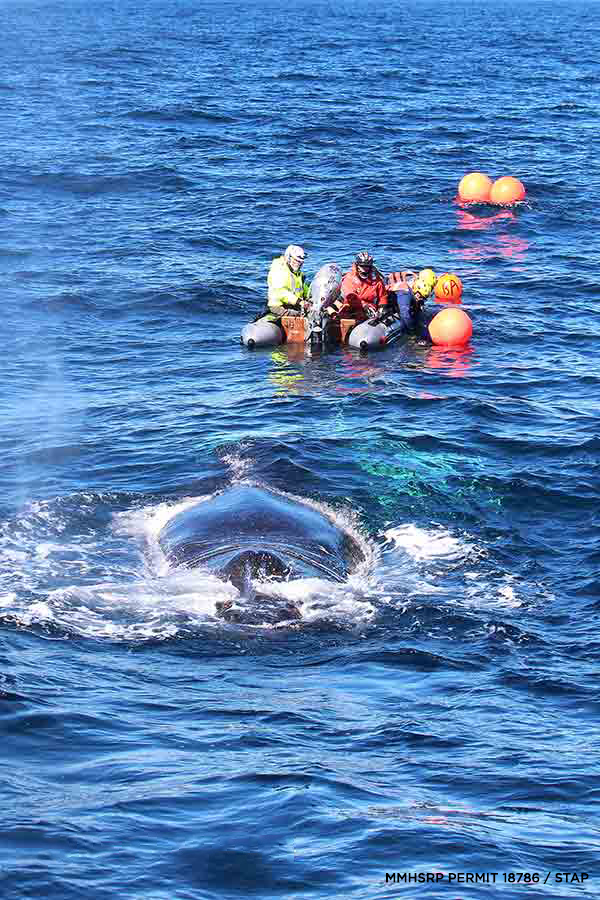 Pieter Folkens and members of the highly-trained Whale Entanglement Team approach an entangled humpback whale.