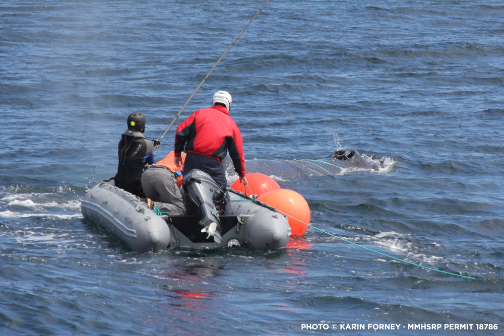 California Whale Rescue's trained responders approach an entangled humpback whale off the coast of Point Sur on April 21, 2016.