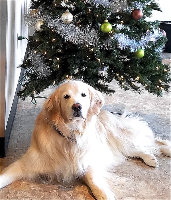 Golden under the Christmas Tree at Back on Track.jpg