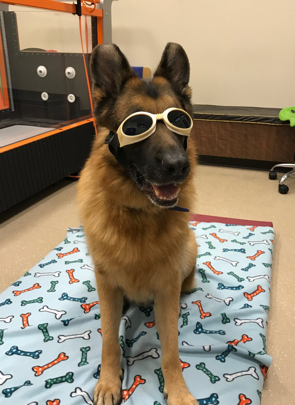 Levi is ready for laser treatment for hip dysplasia