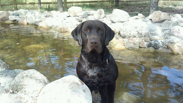 Heatherdowns Labradors, Ltd   Franktown, Colorado