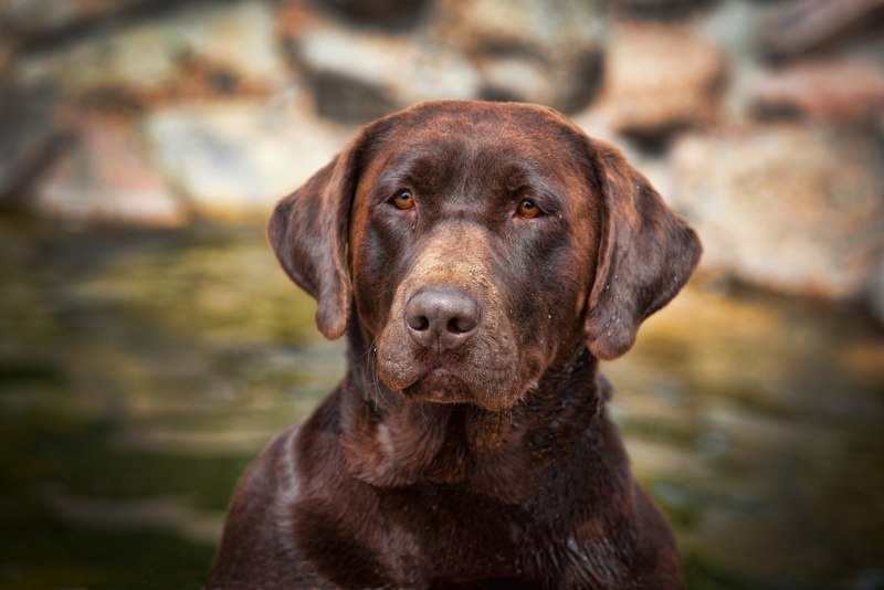 Chocolate lab puppies for sale in colorado springs