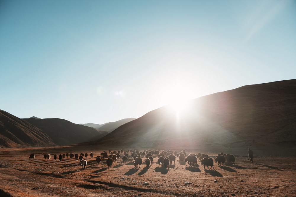 Sunrise and Yaks, Tibet