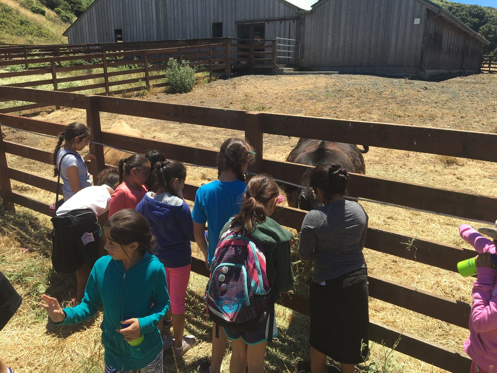 Bridge students feeding cows on a field trip to TomKat Ranch,  a learning laboratory for sustainable animal agriculture.
