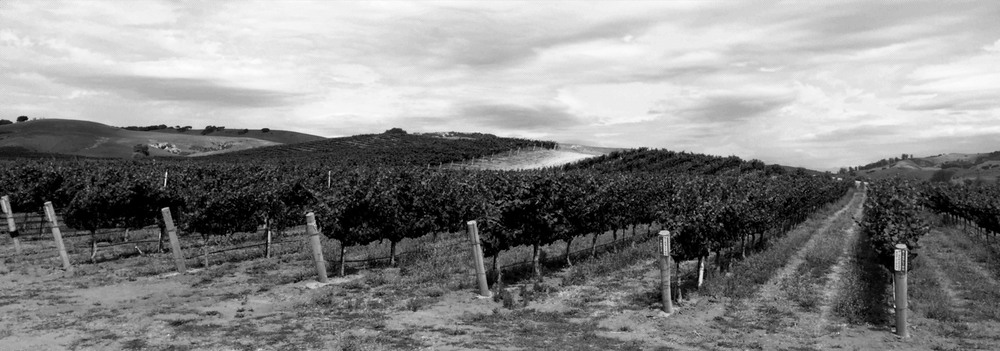 Kick-On Vineyard looking northeast at the Riesling planted on ancient eolian sand dunes