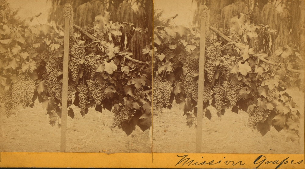 Early photo of the Mission grape, Santa Barbara, circa 1875.