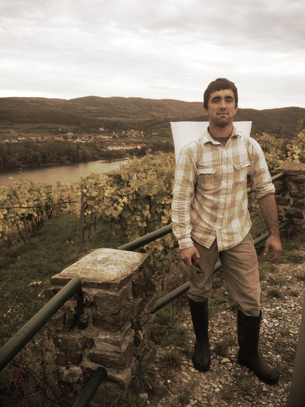 Ryan harvesting Riesling on the steep terrassen of the Wachau above the great Danube River.  Loibner Steinertal Vinyard, Wachau, Austria.