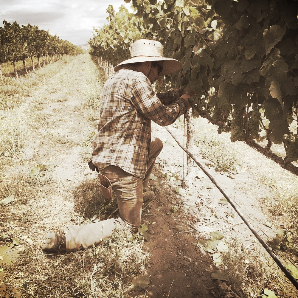 Authentic wine is crafted all by hand, and that work begins in the vineyard. Kick-On Ranch, 2015.