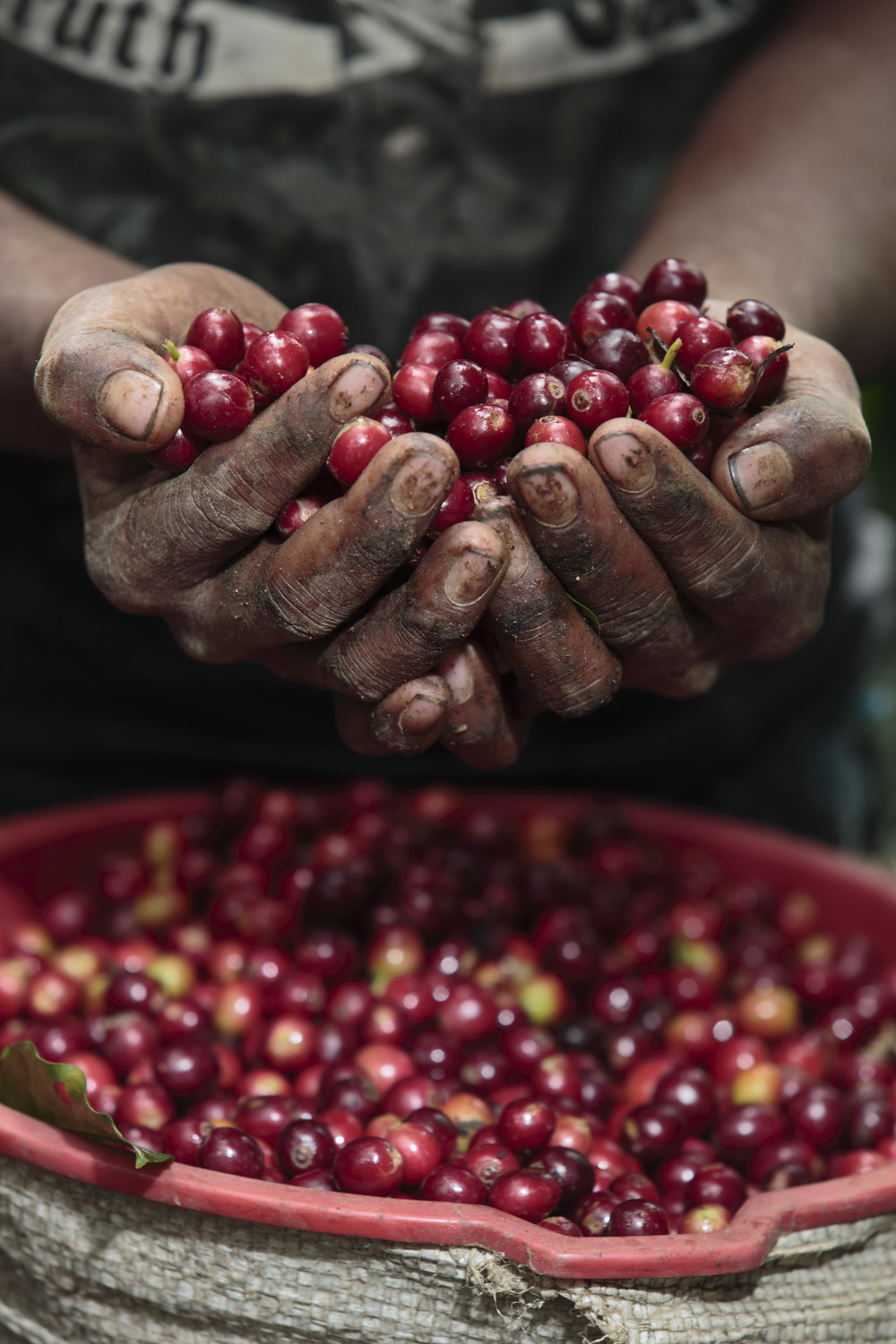 Coffee grows on small bushes inside these red berries, which are then husked to reveal green beans. The beans are cleaned, dried, and finally roasted. Photo: CRS