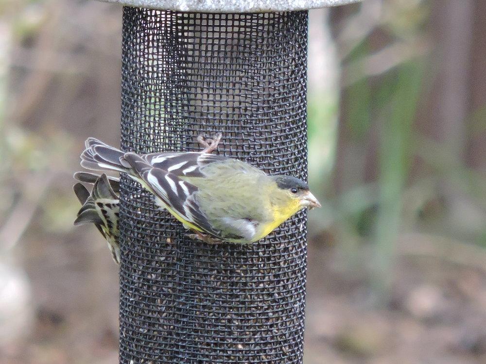 Male Lesser Goldfinch (Rare)
