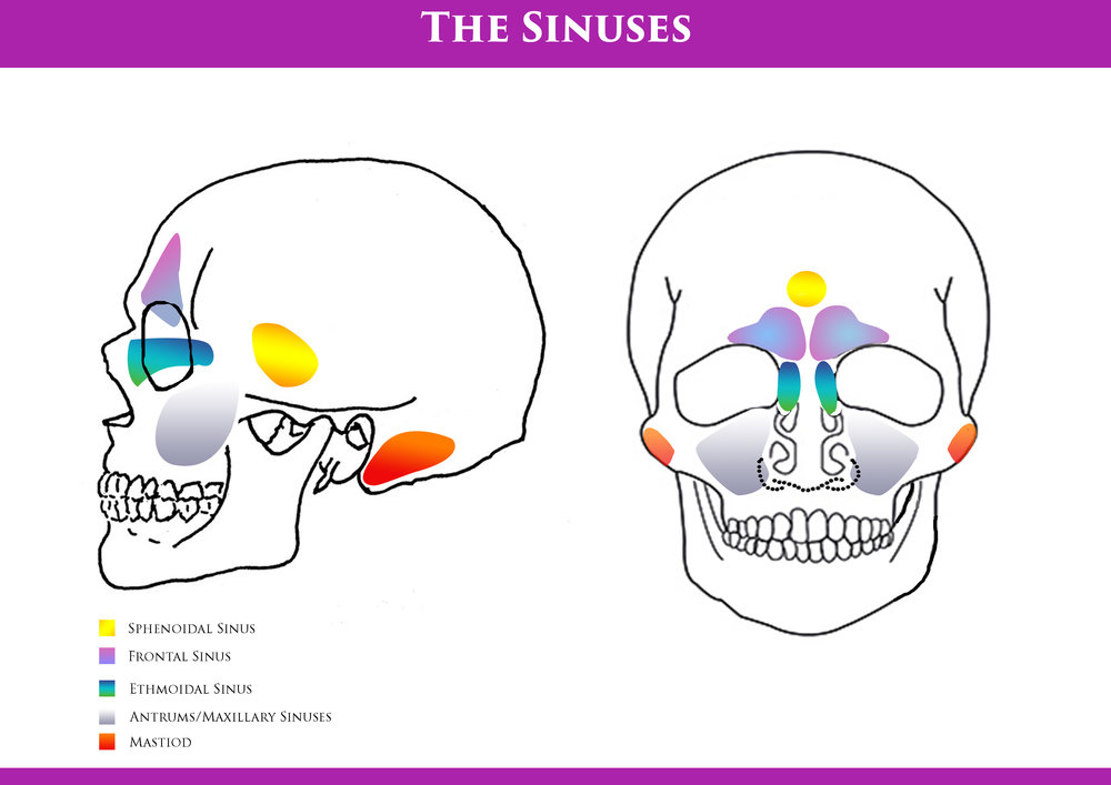 the head sinuses \u2014 metamorphosis Sinus Anatomy Diagram the sinuses diagram jpg