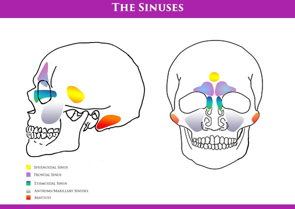 the head sinuses \u2014 metamorphosis Sinus Anatomy Diagram the sinuses diagram jpg