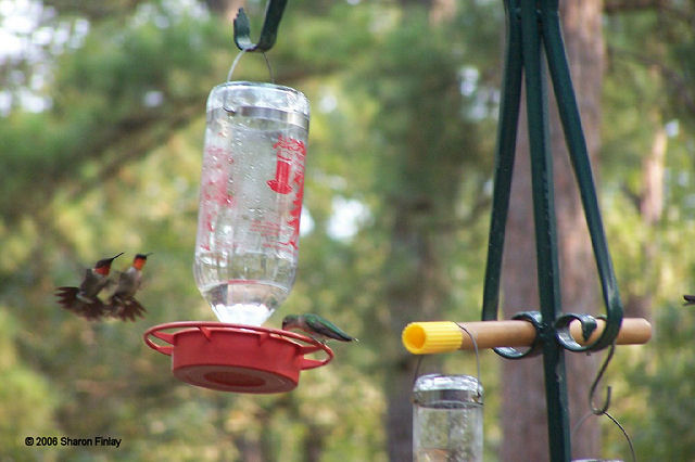 Multiple Ruby-throated Hummingbirds