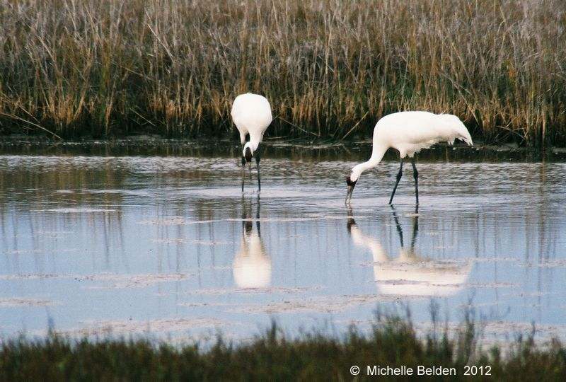 In loving memory of Arthur David Belden, Naturalist. Whooping Cranes @ Aransas NWR