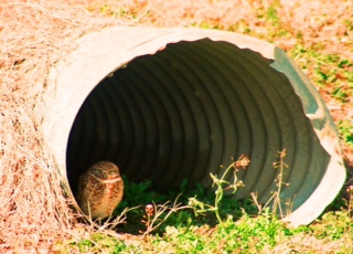 Burrowing Owl - Jan. 2015 Field Trip