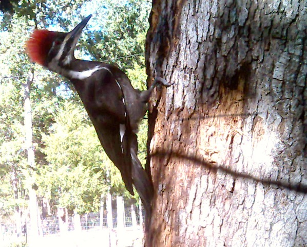 Pileated Woodpecker Taken with a game camera, November 2014