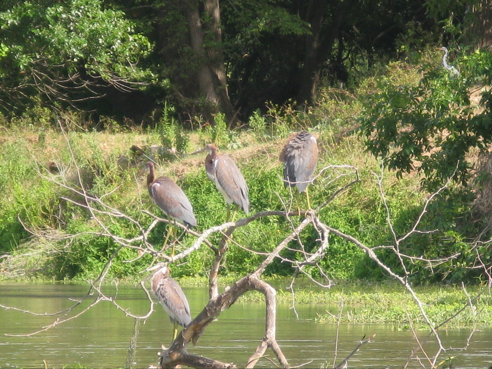 Tri-colored Herons