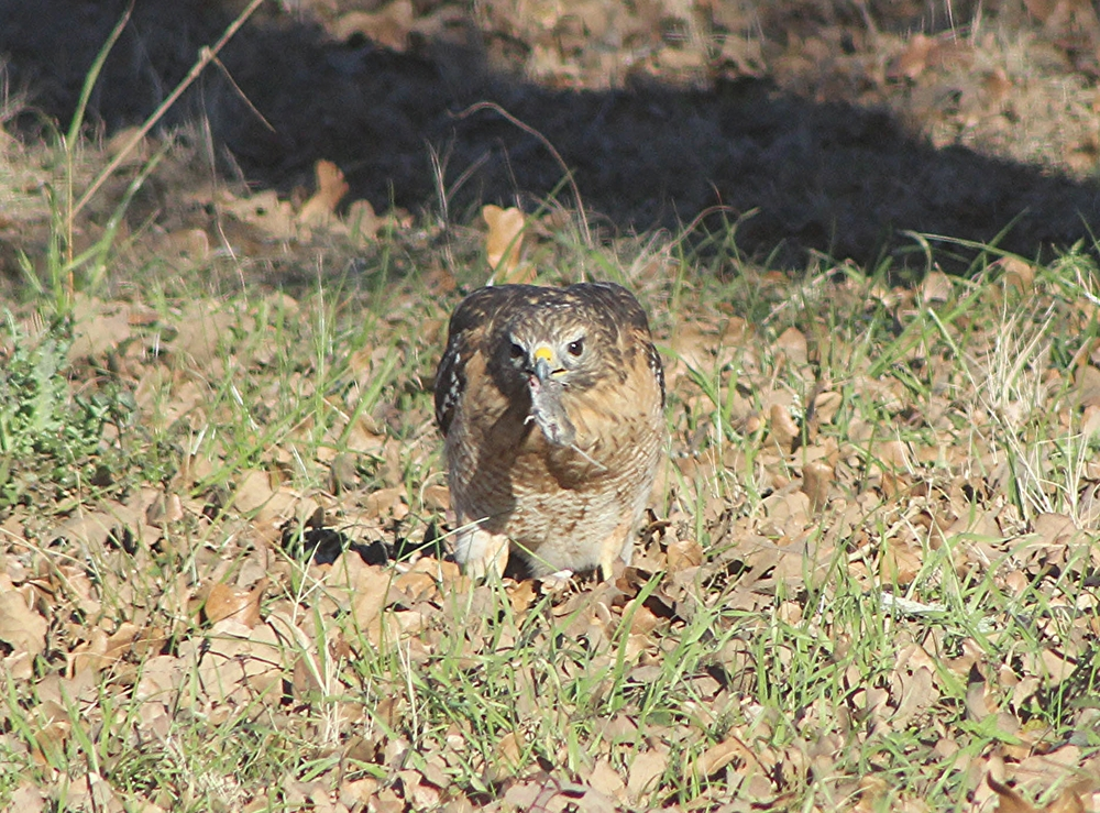 Red-shouldered Hawk with prey