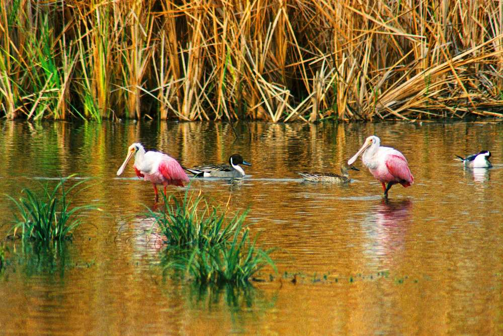 Roseate Spoonbill and Northern Pintails