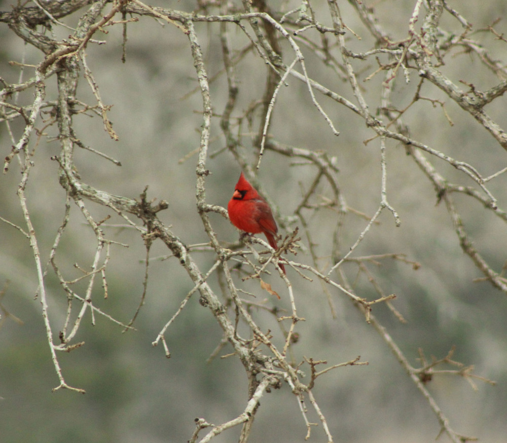 Northern Cardinal - Bastrop County Texas