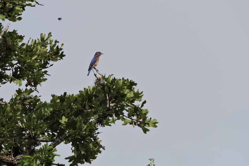 E. Bluebird, Bastrop S. P.