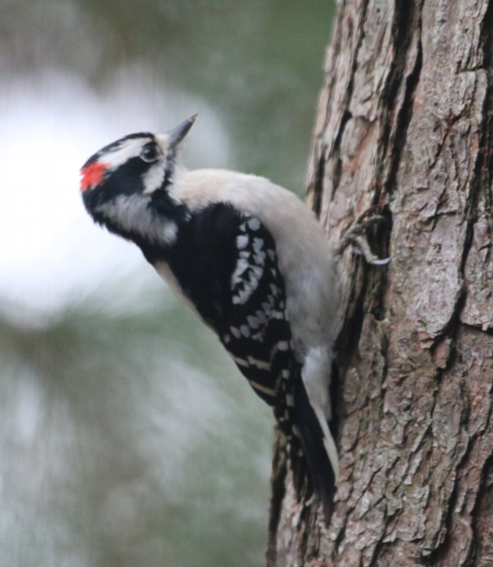 Downy Woodpecker 02.JPG