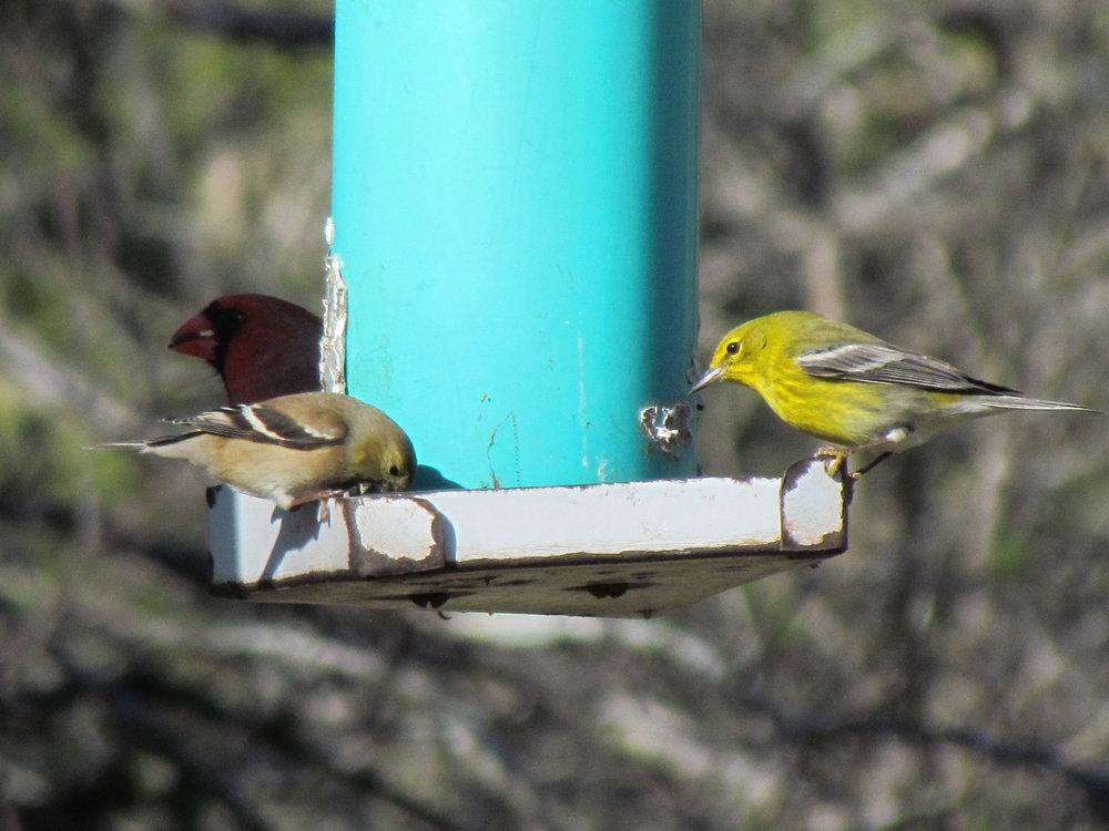 Pine Warbler-Blue  Jay home.JPG