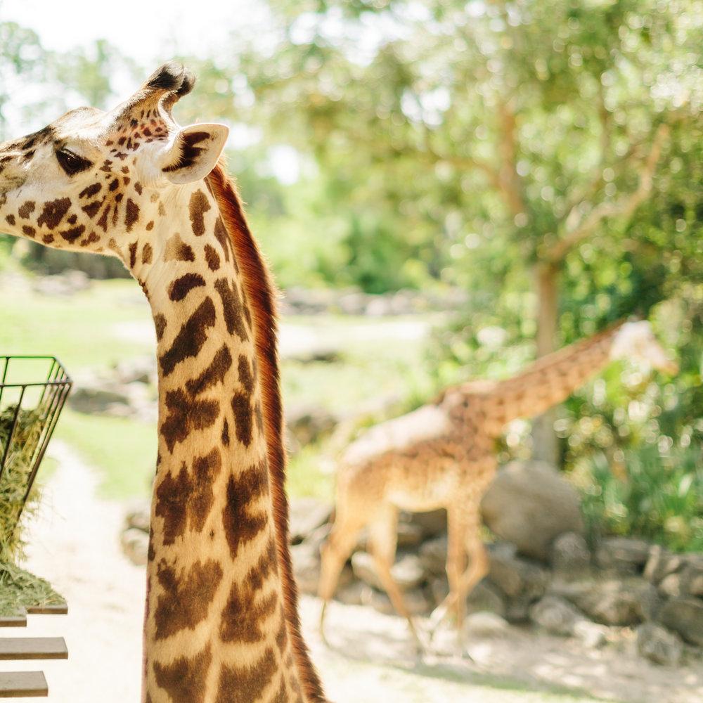 2018.05.01 Ashleigh and Nathan Brevard Zoo Engagement Session-143.jpg