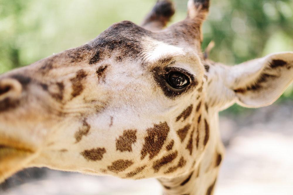 2018.05.01 Ashleigh and Nathan Brevard Zoo Engagement Session-155.jpg