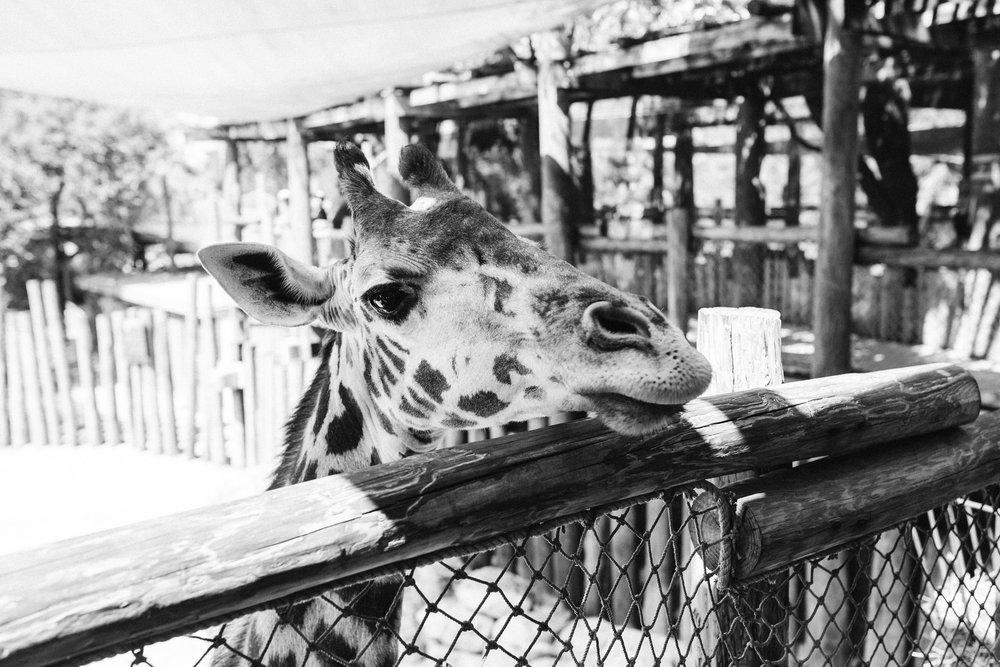 2018.05.01 Ashleigh and Nathan Brevard Zoo Engagement Session-159.jpg