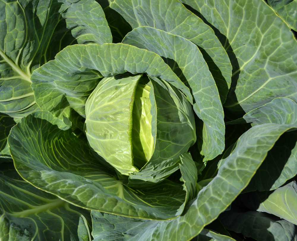 Cabbage nearing harvest