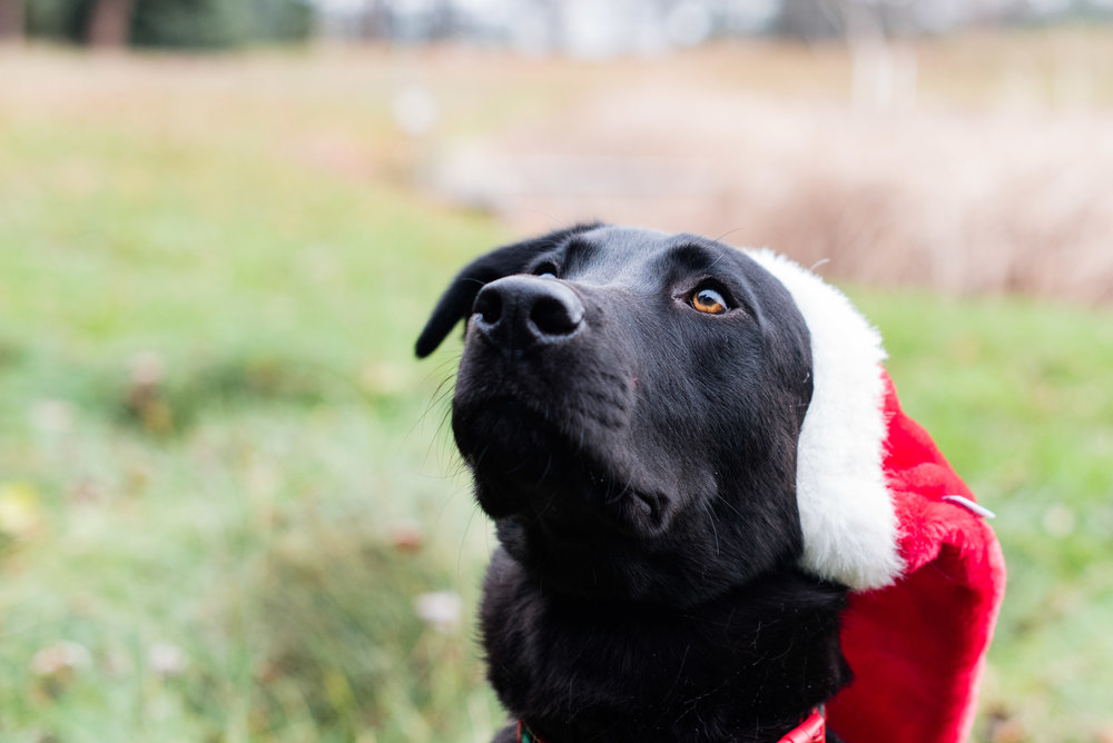 bowling green pet photography black lab-12.jpg