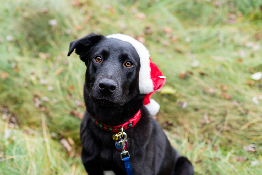 bowling green pet photography black lab-13.jpg