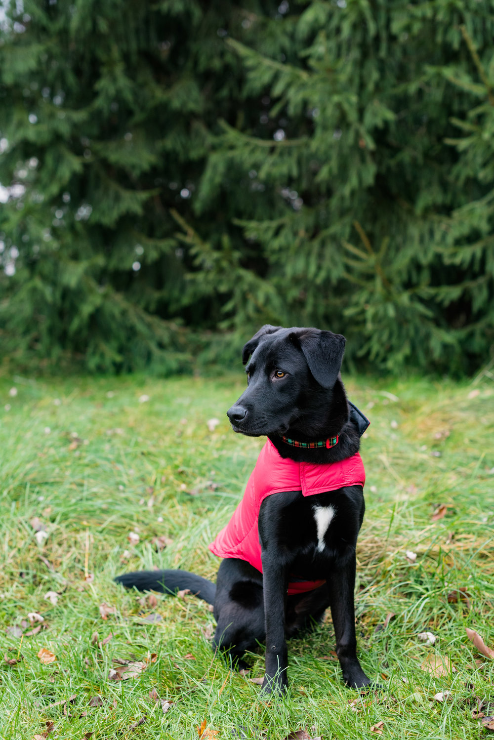 bowling green pet photography black lab-24.jpg