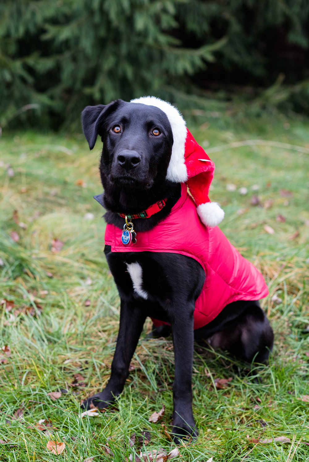 bowling green pet photography black lab-26.jpg