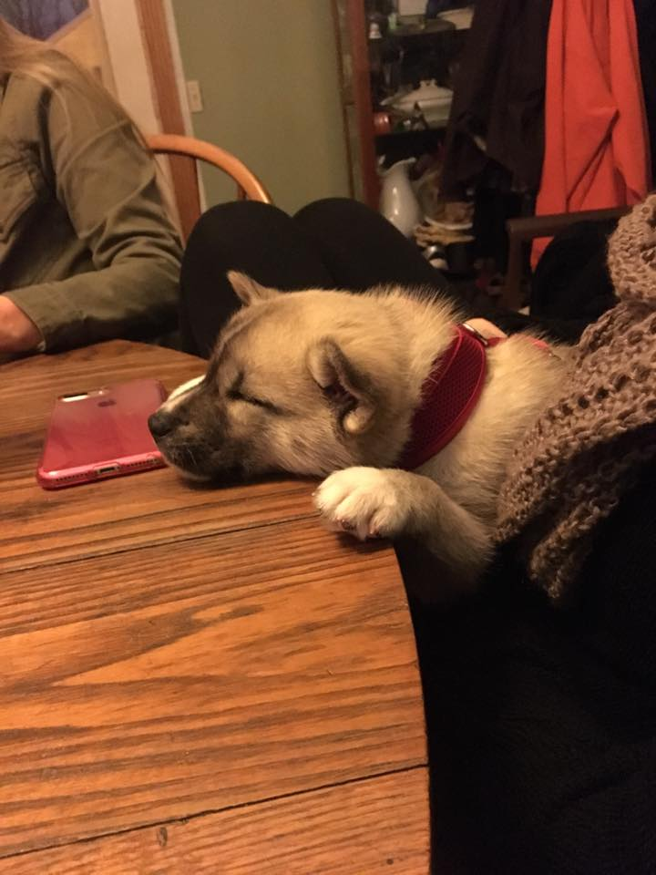 2. Sawyer - He just turned 3months old. He is a full breed Husky from Logan Farm Siberian Huskys Ohio and is a total lovebug. He has already mastered sit and lay, and currently is working on stay and speak. His favorite thing is belly rubs and