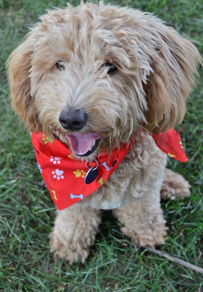 11. Brody Bear - He's our two year old miniature Golden Doodle. He loves to cuddle and some nights even sleeps tucked in underneath the blankets with his head on the pillow. Even though he's small he always finds a way to take up most of the bed.