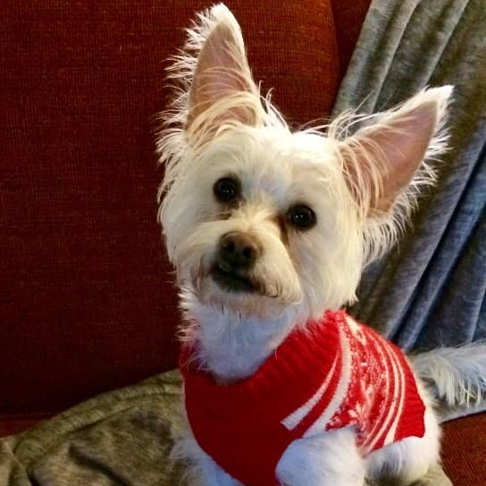 1. Kruz - Kruz Kelly is a 2 year old rescue, Westie mix. He used to live in Florida and wasn't thrilled with the Polar Vortex! He loves to wear sweaters and be cuddled in blankies!