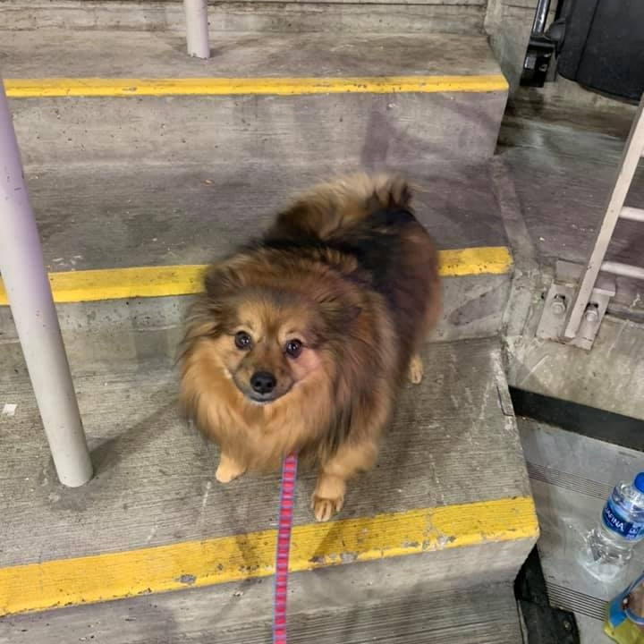 15. Brutus - This is Brutus a 6 year old Pomeranian papillon mix. He is a an Ohio State fan of course and if you mention Michigan he will show his teeth and growl.