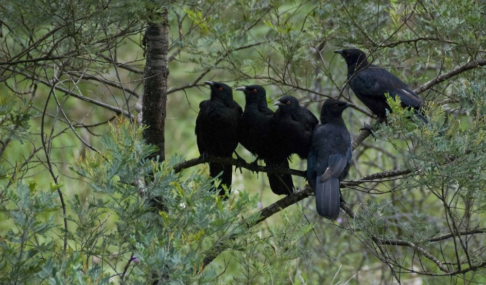 A family of Choughs
