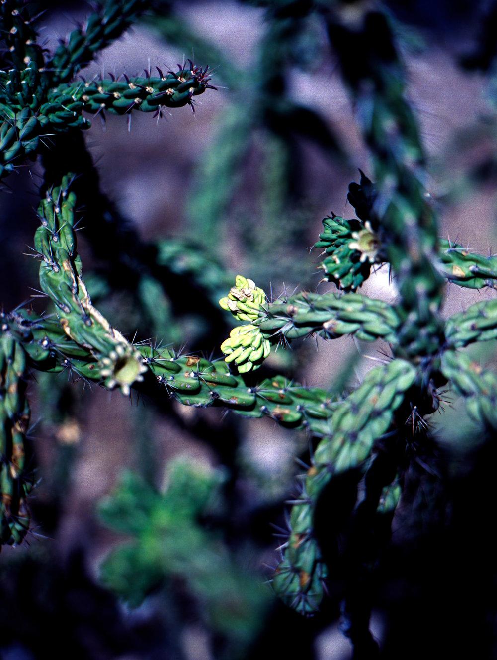 Mamiya 645AF | Kodak Ektar | Cacti