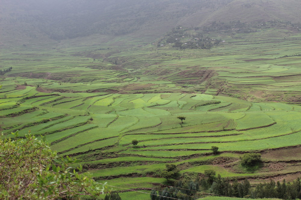 Ethiopia Teff fields