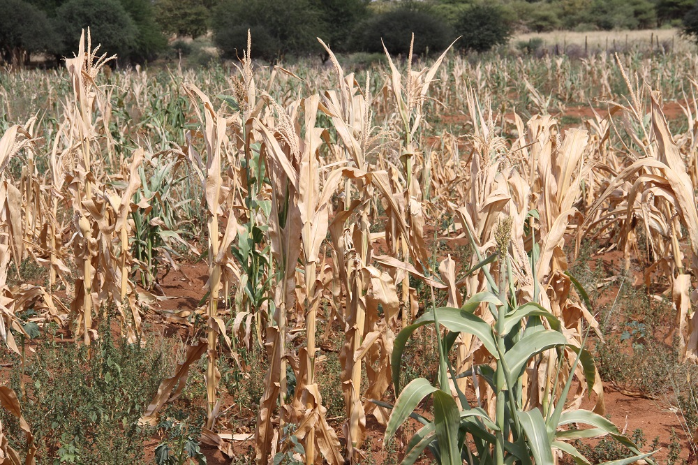 The country has to rely on South Africa's maize exports. © Baboki Kayawe