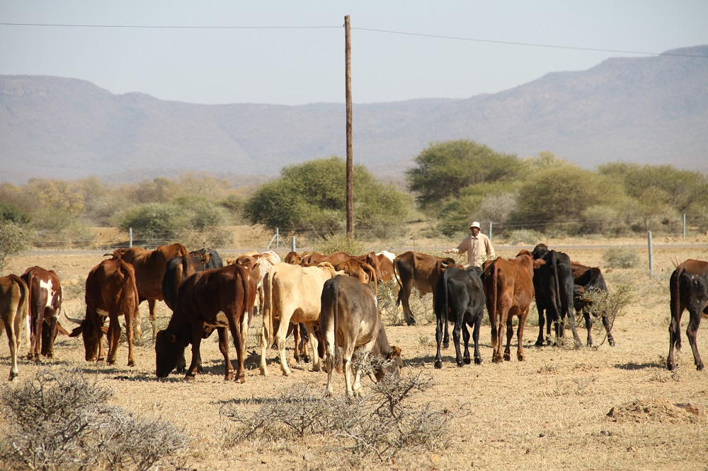 The government advocates for a quality-based cattle production. © Baboki Kayawe