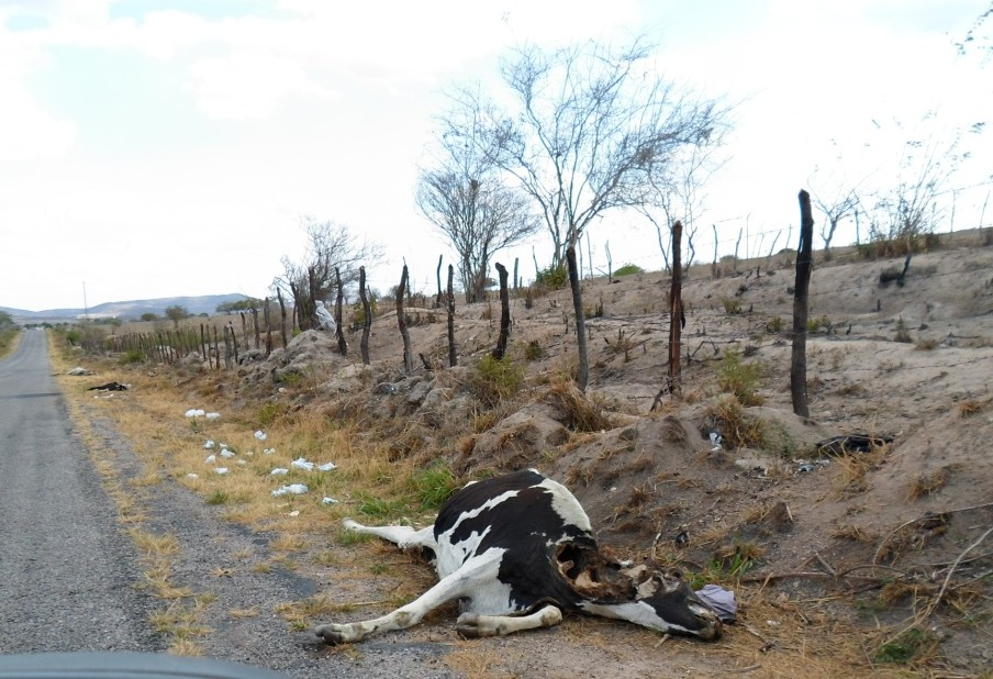 A dead cow lies on a highway in drought-hit Pesqueira, northeast Brazil. © Nadia Pontes