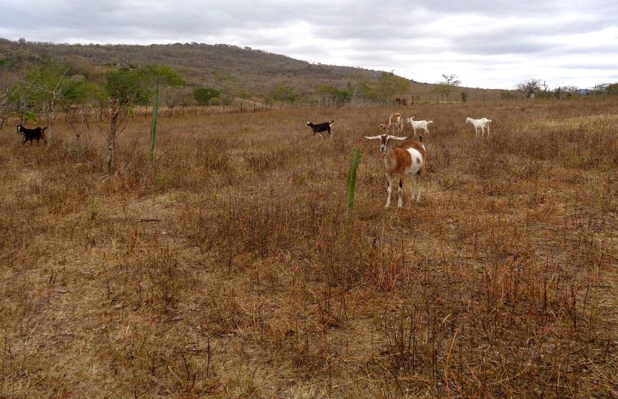 Goats are a popular livestock choice in the parched community of Pacheco, northeast Brazil, because they are more resilient to drought than other animals. © Nadia Pontes
