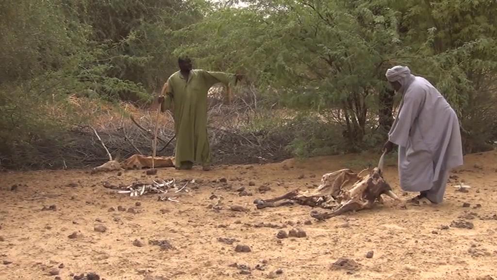Les animaux meurent à cause de la sécheresse qui sévit à Tombouctou @ Augustin Fodou